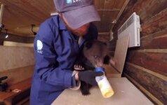 Mielas vaizdelis iš Rusijos: meškiukai maitinami kaip kūdikiai
