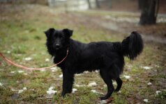 Juodas šunelis ieško naujų šeimininkų