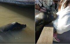 Žaibiškai plinta internete: jūrų liūtas nusitempė mergaitę į vandenį