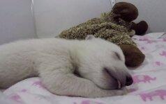 Žavinga akimirka - sapnuojantis baltasis meškiukas užkariauja internetą