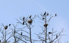Po pertraukos vėl nutarta baidyti kormoranus