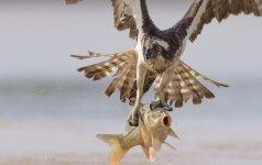 Sėkminga erelio žvejyba Lietuvos tvenkinyje sulaukė britų susidomėjimo