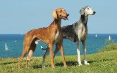 Saliukis – viena seniausių šunų veislių, pasižyminti greičiu ir ištverme