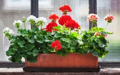 Palangių klasika: kaip auginti pelargonijas ir petunijas