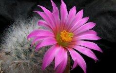 Ką reikia žinoti, kad kaktusai pradžiugintų žiedais