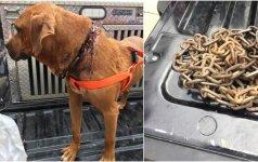Šunį grandinės veržė nuo gimimo: pagaliau gydytojai išlaisvino jį nuo kančių