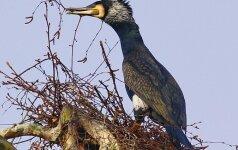 40-ies paukščių diena: jei kovo 10-ąją šals - šalnos laikysis dar 40 parų