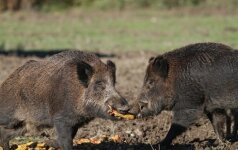 Afrikinio kiaulių maro užkrato zonose jau kyla tvora