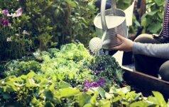 Kokie darbai laukia darže bei sode birželio mėnesį?