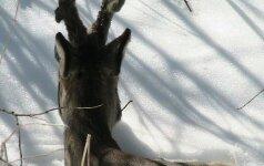 Brakonieriai pasidarbavo: atvykęs į sodybą surado kilpoje nugaišusią stirną