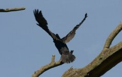 V. Mazuronis pasisako už kormoranų medžioklę
