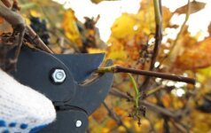 Kaip karpyti medžius ir krūmus rudenį?