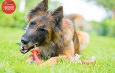 Belgų aviganiai – šeimos šunys aktyviam laisvalaikiui