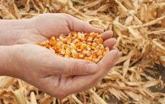 Suabejota ar genetiškai modifikuoti augalai tikrai duoda didesnį derlių