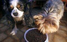 Kaip tinkamai maitinti šunį?