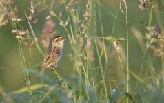 Kokiam nykstančiam paukščiui specialiai šienaujami šimtai hektarų pievų?