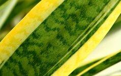 12 kambarinių augalų, kurių nenumarins net ir didžiausias užmaršuolis