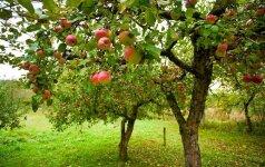Diskusijos su kaimynais: kokiu atstumu nuo kito sklypo turi būti sodinami medžiai?užduok klausimą