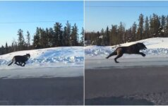 Neįprasta moters kelionė į darbą: kelyje lenktyniavo su vilkais