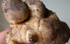 Topinambai - žieminės bulvės mūsų daržui ir stalui