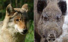 Medžiotojo nuomonė. Jei jau kovojame su maru, reikėtų neriboti ir vilkų medžioklės