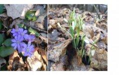 Nutirpus sniegui pasirodė pirmosios pavasario pranašės