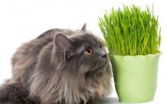 Augalai, kurie varo kates iš proto