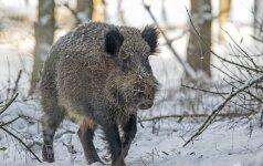 Rastas kiaulių maru užsikrėtęs nugaišęs šernas