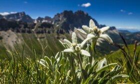 Alpių augmenija