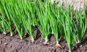 Puiki trąša svogūnų laiškams: augs kaip išprotėję