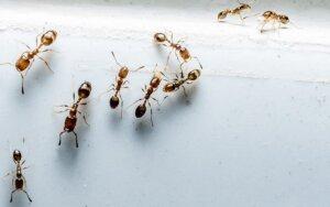 Vertingi patarimai, kaip namuose visam laikui atsikratyti skruzdėlių