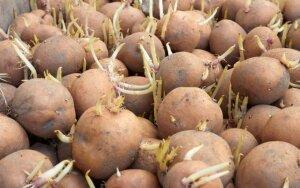 Bulvių daigai gali išgydyti astmą ir vėžį