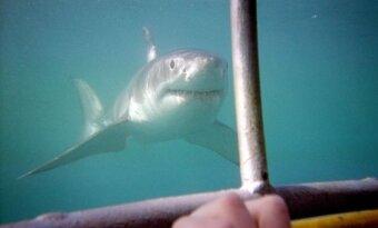 Asociatyvinė nuotr. / Didysis baltasis ryklys