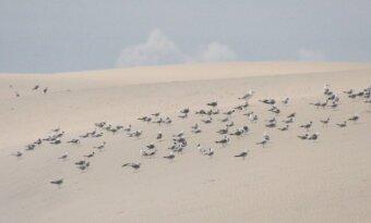 Paukščiai ilsisi ant baltosios kopos