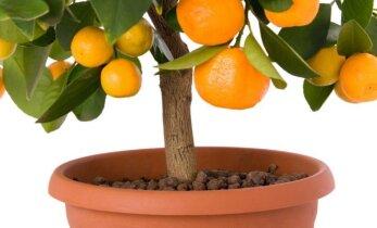 Egzotiniai vaisiai, kuriuos galima išauginti iš kauliukų