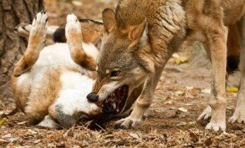 Klystate manydami, kad vilkai yra nejautrūs kraugeriai