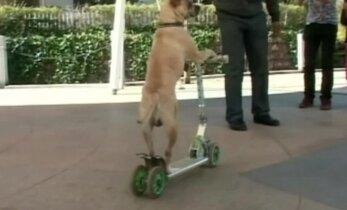 Smagūs šuns triukai su dviračiu, paspirtuku ir riedlente