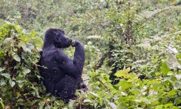 Bvindžio neįžengiamojo miško nacionalinis parkas, Uganda