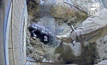Nufilmuota, kaip zoologijos sode pasaulį išvysta juodojo raganosio jauniklis