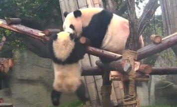 """""""Slaptas pandų gyvenimas"""" (XXXVIII): kova dėl vietos po saule"""