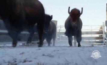 Seniausiame Кanadоs nacionaliniame parke vėl atsirado bizonų