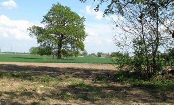 Žmonės pastebėjo, kad laukuose dingo ąžuolas