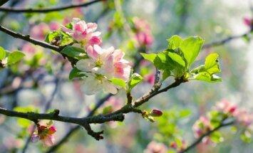 Tikrasis pavasaris jau ne už kalnų