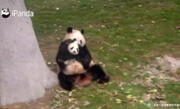 """""""Slaptas pandų gyvenimas"""" (VIII): mažosios pandos bandymai ištrūkti iš mamos glėbio"""