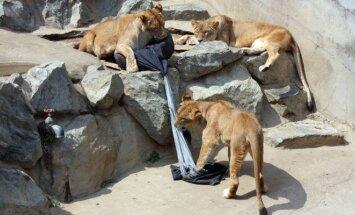 Zoologijos sodo džinsai - kūrinys, kurį savo dantimis pataršė liūtai, tigrai arba lokiai