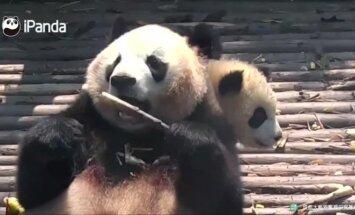 """""""Slaptas pandų gyvenimas"""" (42 serija): patogumų ieškanti mama ir pavasariškos maudynės"""