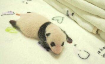 Kartu su pirmaisiais lankytojais pamatykite vos mėnesio pandų jauniklius