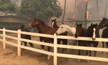Iš aptvaro ištrūkę žirgai pabėgo nuo Kalifornijos miškų gaisrų