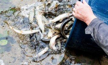 Margio ežero įžuvinimas