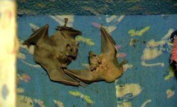 Izraelyje moteris namuose globoja 70 sužeistų šikšnosparnių